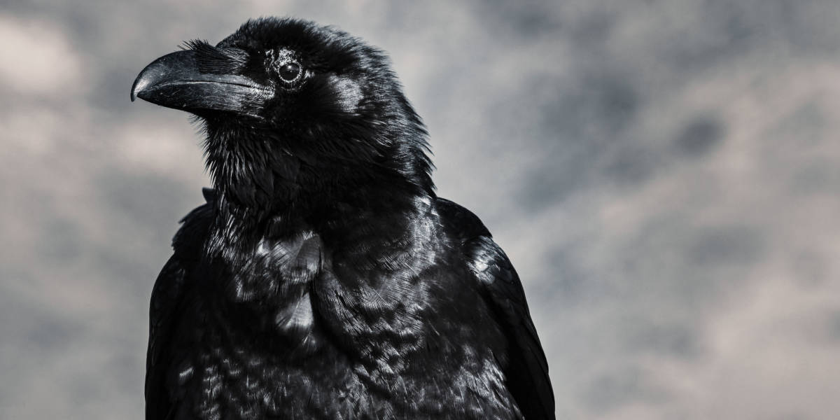 A crow's search for happiness