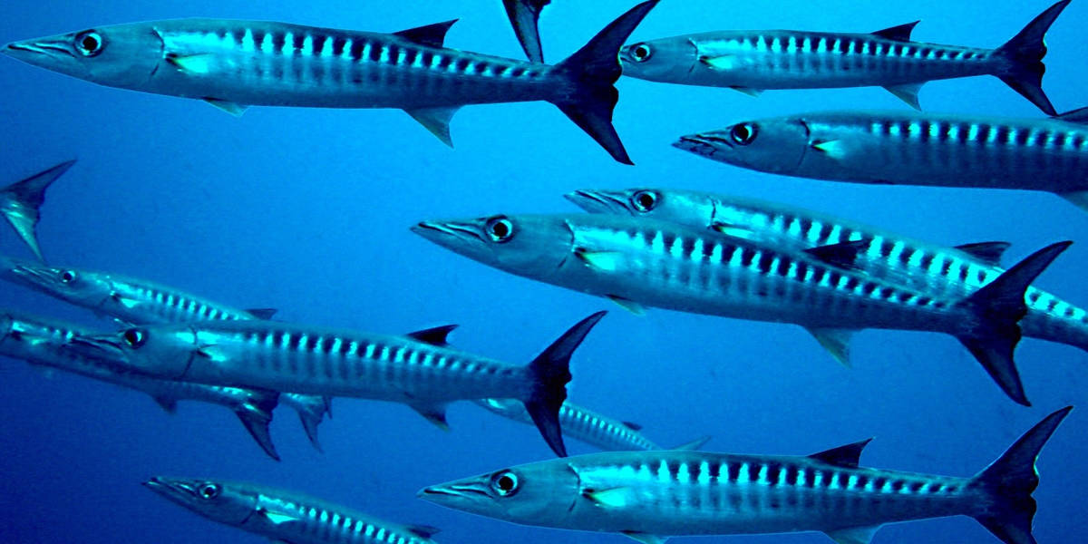 A story about a Barracuda and the bait fish